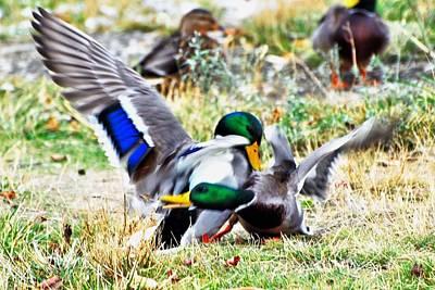 Duck Photograph - Mallard Drake Battle by Don Mann