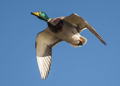 Photograph - Mallard Drake In Flight by Loree Johnson