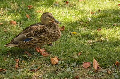Photograph - Mallard Camoflage  by Roxy Hurtubise
