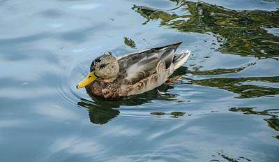 Photograph - Solitaire Mallard Duck by Roxy Hurtubise