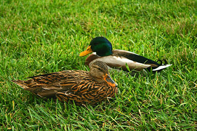 Photograph - Mallard Duck Couple by Michael Porchik