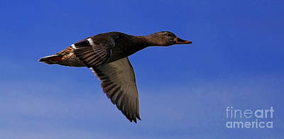 Painting - Mallard Duck In Flight by Sue Harper