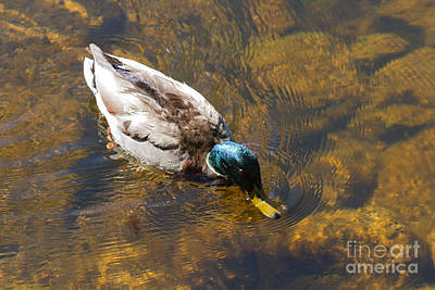 Photograph - Mallard Duck In Sprague Lake by Fred Stearns