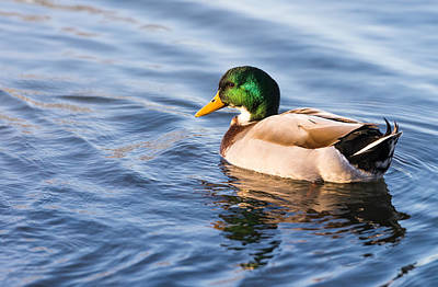 Photograph - Mallard Duck by John Johnson