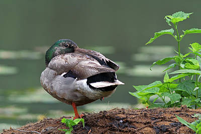 Photograph - Mallard Duck by Juergen Roth