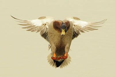 Photograph - Mallard Duck Landing by Pete Federico