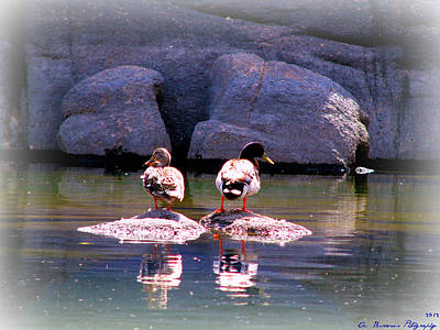 Mallard Duck Life At The Lake Art Print by Aaron Burrows