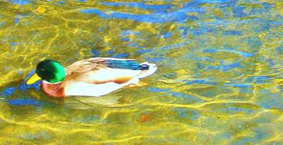 Photograph - Mallard Duck by Marilyn Diaz