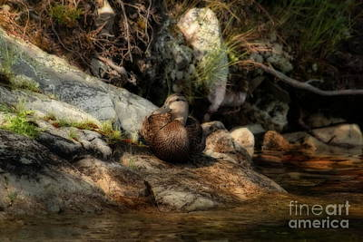 Photograph - Mallard Duck Onaping 2 by Marjorie Imbeau