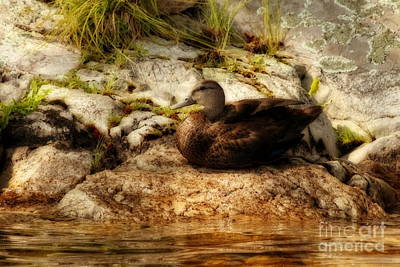 Photograph - Mallard Duck Onaping by Marjorie Imbeau