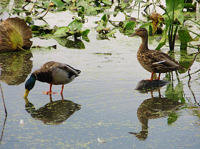 Photograph - Mallard Duck Pair by Shawna Rowe