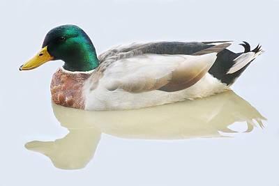 Mallard Duck Art Print by Paulette Thomas