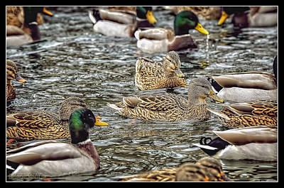 Photograph - Mallard Duck Pond by LeeAnn McLaneGoetz McLaneGoetzStudioLLCcom