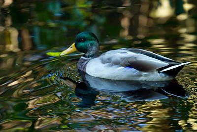 Photograph - Mallard - Duck - Pond by Marie Jamieson