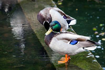 Photograph - Mallard Duck by Sennie Pierson