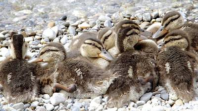 Vevey Photograph - Mallard Ducklings In Spring by Colleen Williams