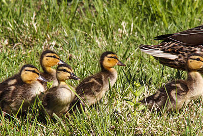Mallard Ducklings Art Print