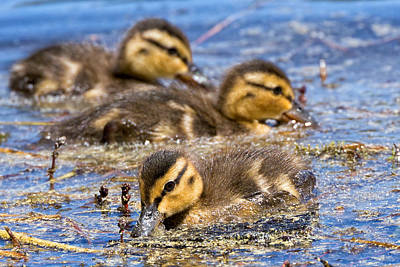 Baby Mallards Photograph - Mallard Ducklings by Kathleen Bishop