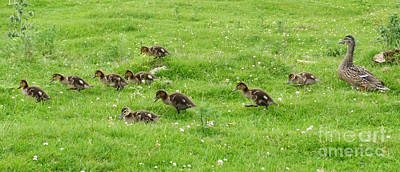 Photograph - Ducklings Parade by Phil Banks