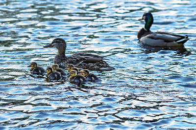 Charles River Photograph - Mallard Ducks by Babak Tafreshi
