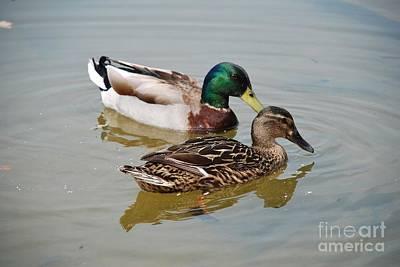 Photograph - Mallard Ducks by David Fowler