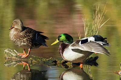 Botanical Photograph - Mallard Ducks In Montreal Botanical by Philippe Henry / Design Pics