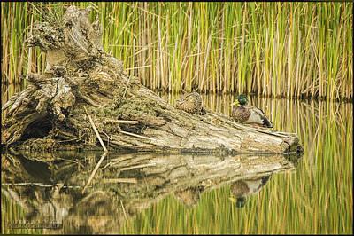 Photograph - Mallard Ducks Stumped by LeeAnn McLaneGoetz McLaneGoetzStudioLLCcom