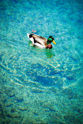 Male Mallard Swimming Art Print by Crystal Wightman