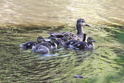 Photograph - Mallard Family On Green Water by Jill Bell