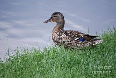 Photograph - Mallard Hen by Mark McReynolds