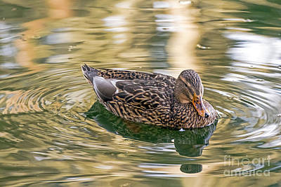 Photograph - Mallard Hen Reflects by Kate Brown