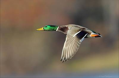 Photograph - Mallard In Flight by Daniel Behm