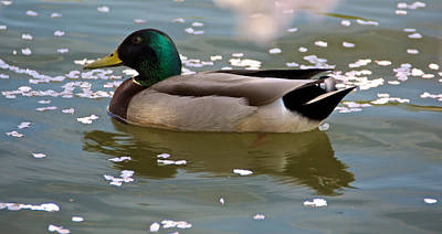Photograph - Mallard In Spring by Kathi Isserman