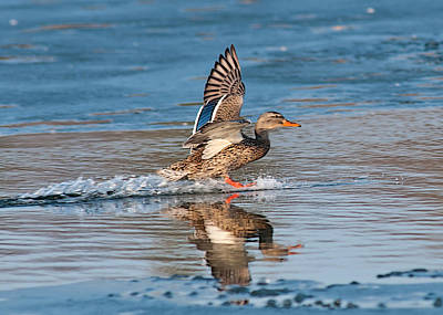Photograph - Mallard Landing Between Ice by Don Wolf