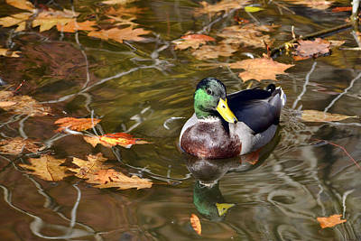 Photograph - Mallard Magic by Ann Bridges