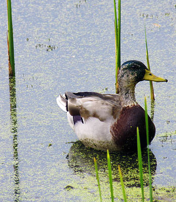 Photograph - Mallard Male Molting by Shawna Rowe