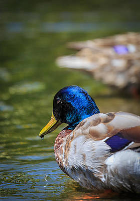 Photograph - Mallard by Matthew Onheiber