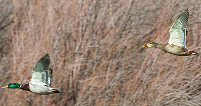 Photograph - Mallard Pair by Britt Runyon