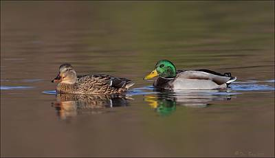 Photograph - Mallard Pair by Daniel Behm
