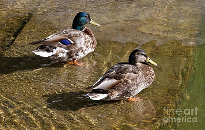Photograph - Mallard Pair In Early Evening by Gerda Grice