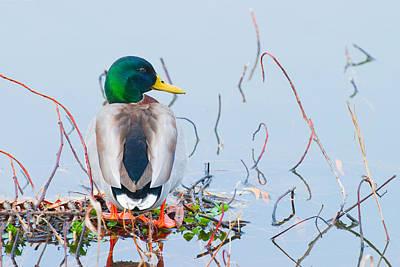 Photograph - Mallard by Ram Vasudev