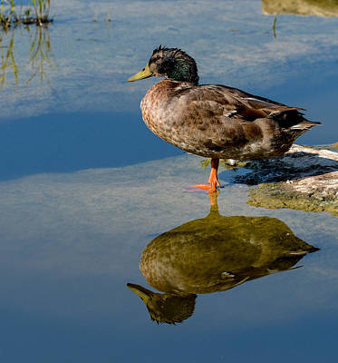 Photograph - Mallard Reflection by John Johnson