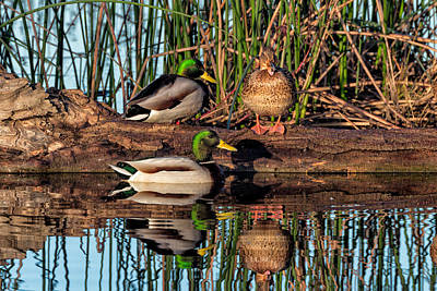 Photograph - Mallard Reflections by Kathleen Bishop