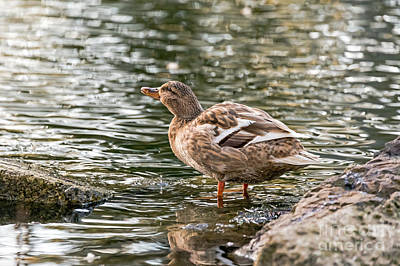Photograph - Mallard Refreshing by Kate Brown