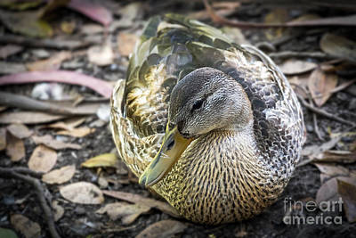 Photograph - Mallard Resting by Kate Brown