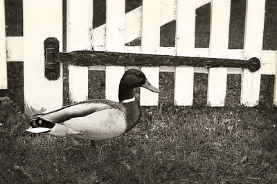 Photograph - Mallard by Scott Hovind