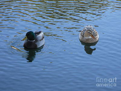 Photograph - Mallard Two by Audrey Van Tassell