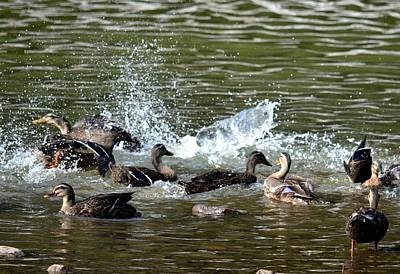 Photograph - Mallard Water Party 2 by Maria Urso