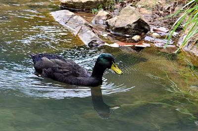 Photograph - Mallard Water Reflection by Maria Urso