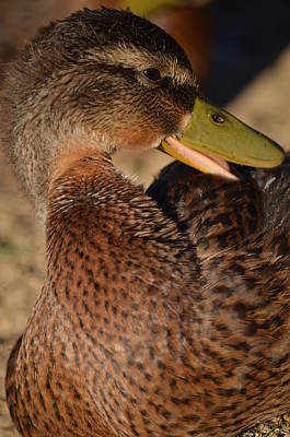 Photograph - Mallard Youth 2 by Maria Urso
